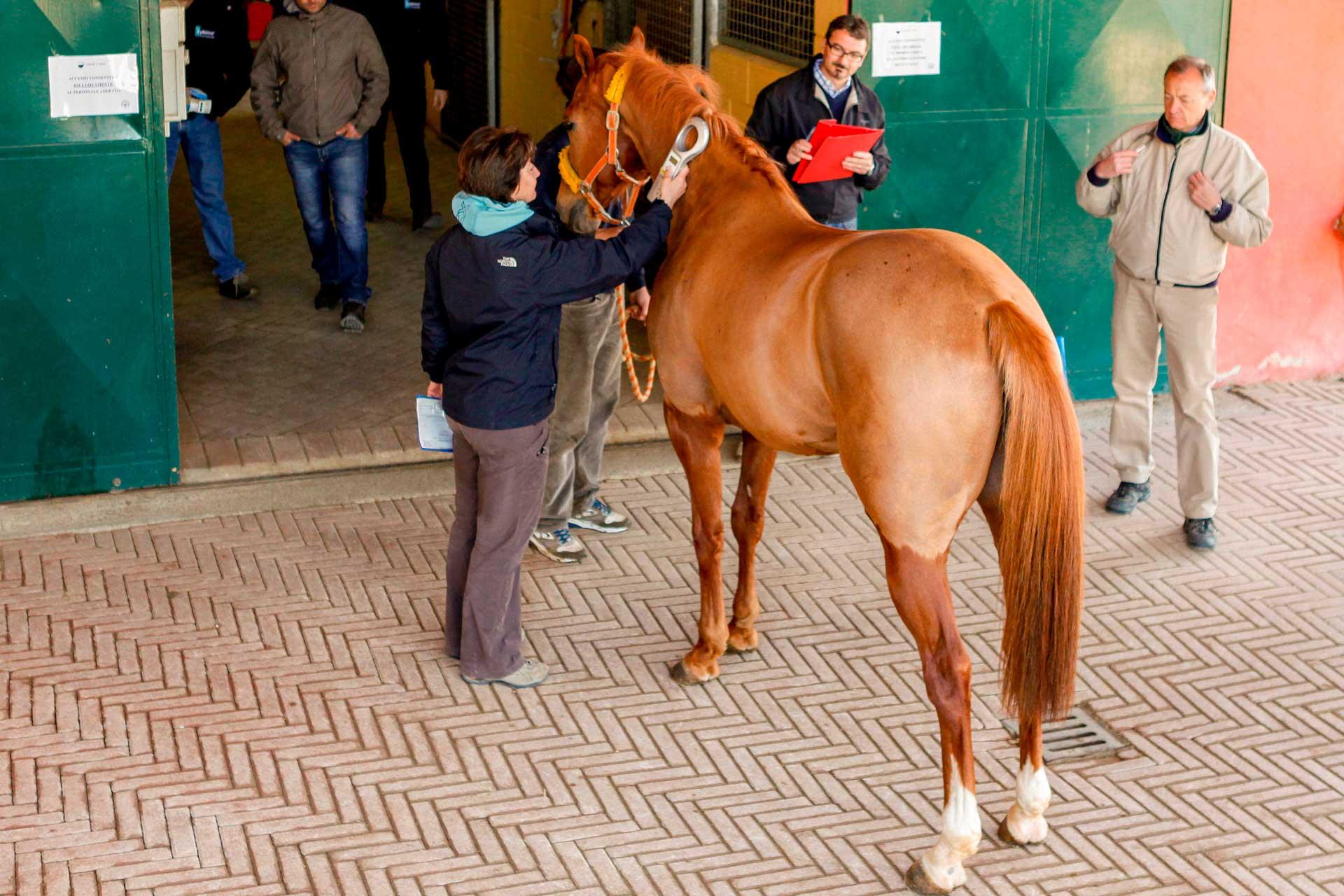 LE PRE-VISITE VETERINARIE - Si procede all?identificazione del cavallo mediante lettura elettronica del microchip applicato sotto alla criniera.